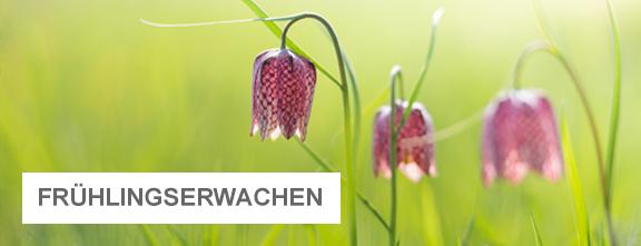 Blühende Schachbrettblumen | © Alexander Kaßner