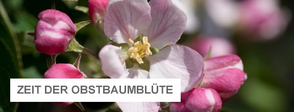 Apfelblüte   © Obsthof Lefers im Alten Land
