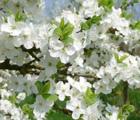 Blütezeit des Apfelbaums im April © Urlaubsregion Altes Land am Elbstrom